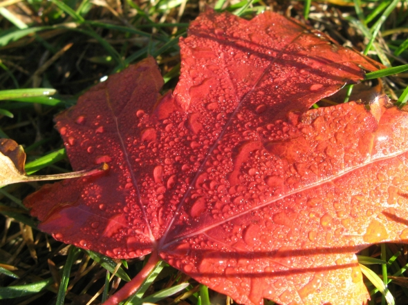 Maple leaf with morning dew