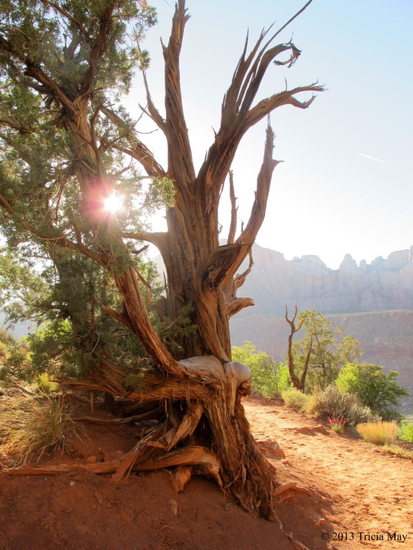 "A ""Tim Burton"" tree on the Watchman Trail"