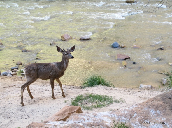 Mule deer along the Virgin River