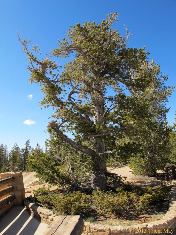 Older bristlecone pine