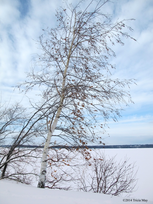 Birch tree along the Ottawa River