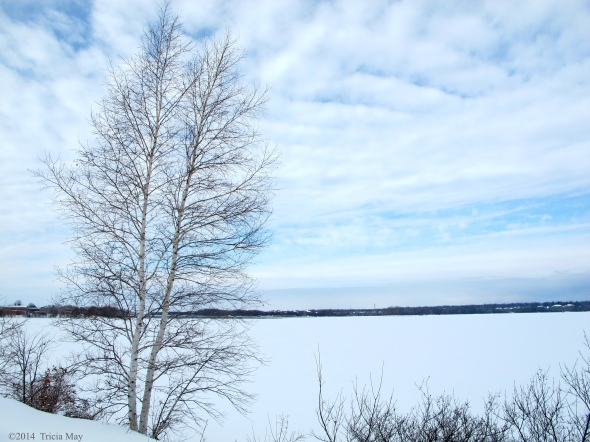 Birch along the Ottawa River